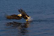 Bald Eagle, Haliaeetus leucocephalus, fishing, Kenai Peninsula, Homer Spit, Homer, Alaska. Digital original, #2006_1271 ©Robin Brandt