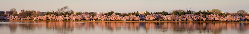 Cherry Blossom Panoramic