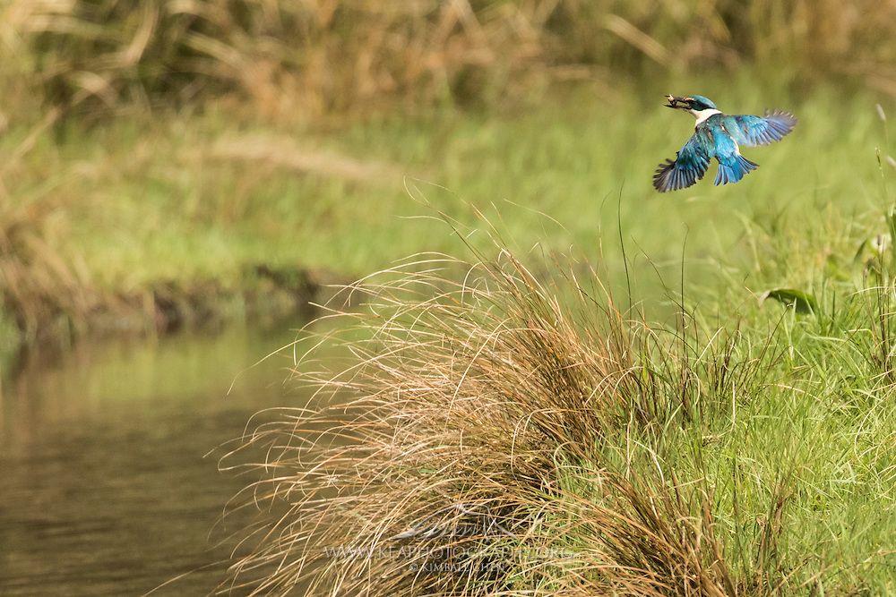A Sacred Kingfisher flies home with a tasty crab, Stewart Island, New Zealand