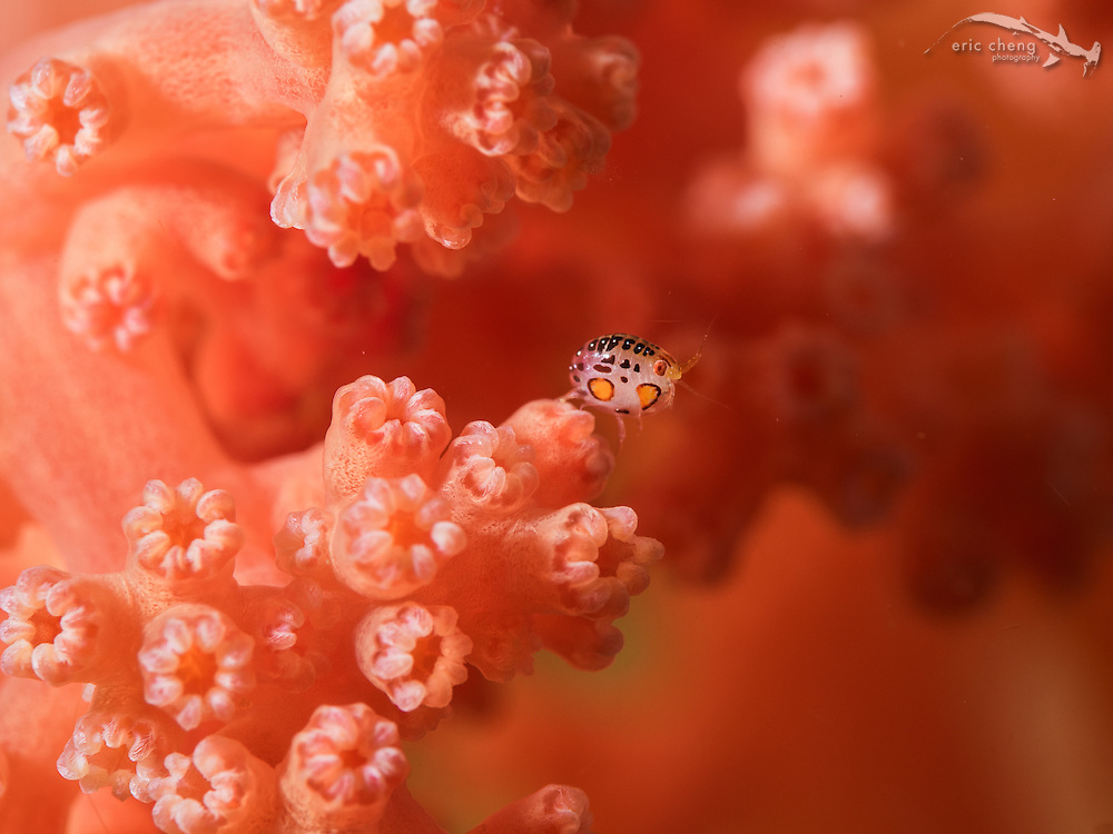 Ladybug amphipod (undescribed) on an octocoral. Baleh, Komodo National Park, Indonesia.