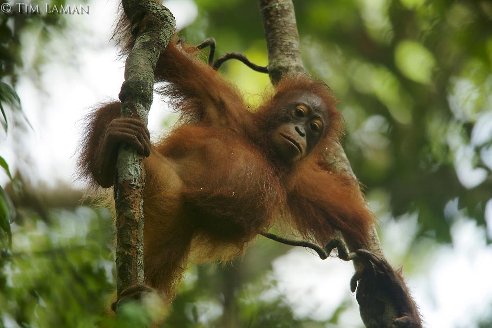 Juvenile female Bornean Orangutan (Pongo pygmaeus)<br />(Betsy, daughter of Beth)