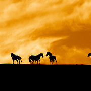 Wild Mustangs on Hilltop at Sunset