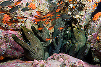 A dozen Fine-Spotted Moray Eels share a hole in the reef.