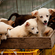 Puppies on display in a market in Busan, South Korea. Nearby, other dogs are butchered for their meat. Busan, South Korea. 13/08/2011.