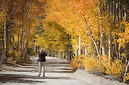 A photographer photographs yellow Aspen trees in the California Sierra Nevada mountains