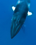 Australia - Coral Sea Minke Whales w/Mike Ball