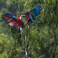 In the Amazon Basin of the Peruvian Rain forest located in the buffer zone to the Tambopata National Reserve.
