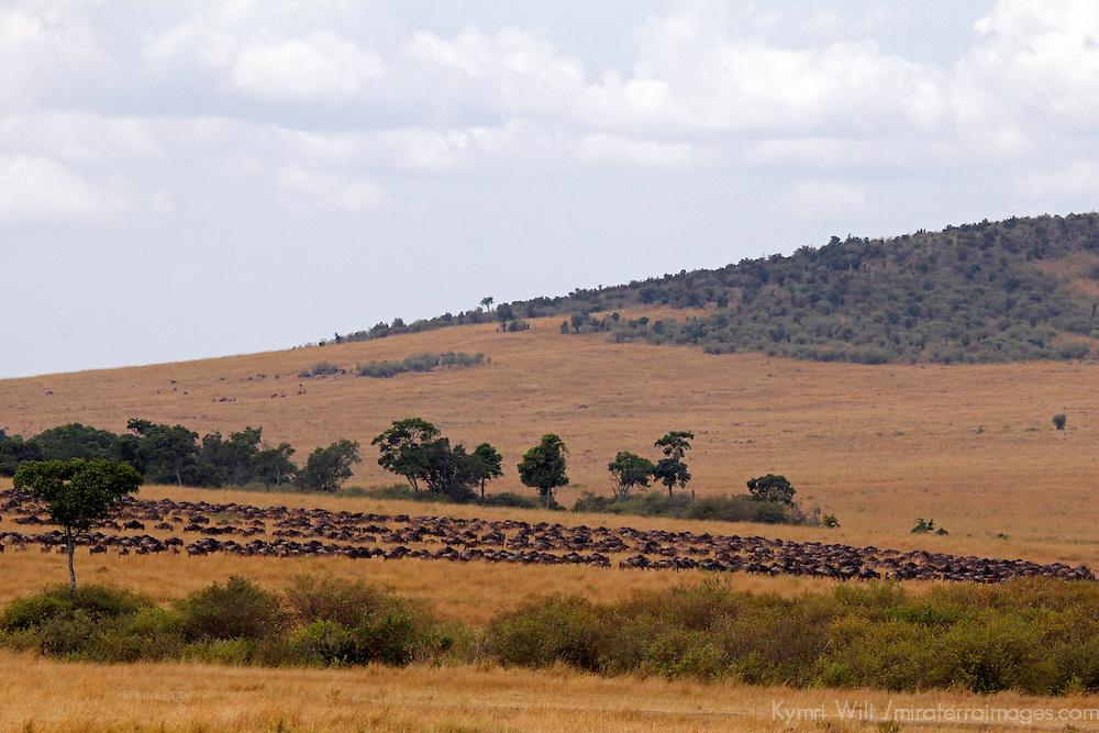 Africa, Kenya, Masai Mara. Grazing wildebeest herds in the Mara.