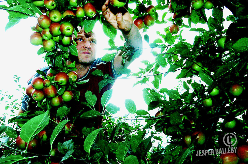 Iver Krog Østergaard frugt og bær, Oksbøl, Nordborg, Als.Historien: Æble og pære høst er i gang to uger tidligere end normalt. Høsten ser meget flot ud..Foto Balleby