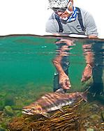 Pink Salmon<br /> <br /> Patrick Clayton/Engbretson Underwater Photography