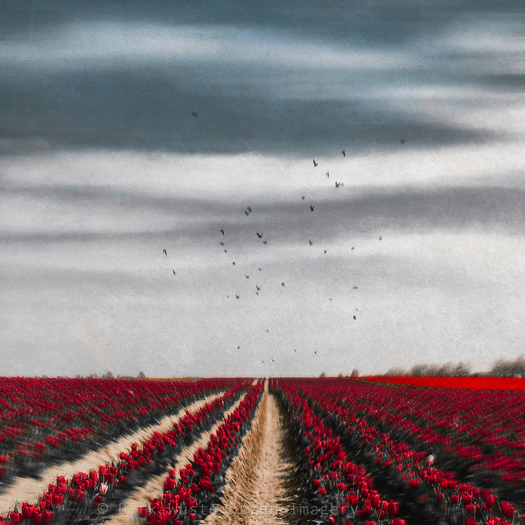 Field of red tulips on a Spring day - texturized photograph<br /> REDBUBBLE products: http://rdbl.co/2oD5dS4