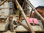31 JULY 2015 - KATHMANDU, NEPAL: A monkey next to a sign warning of dangers from the earthquake at Swayambhunath, also known as the Monkey Temple. The building the monkey is in front of is propped with timbers. Swayambhunath is a complex of Buddhist and Hindu temples in Kathmandu. It was heavily damaged in the Nepal Earthquake. The Nepal Earthquake on April 25, 2015, (also known as the Gorkha earthquake) killed more than 9,000 people and injured more than 23,000. It had a magnitude of 7.8. The epicenter was east of the district of Lamjung, and its hypocenter was at a depth of approximately 15km (9.3mi). It was the worst natural disaster to strike Nepal since the 1934 Nepal–Bihar earthquake. The earthquake triggered an avalanche on Mount Everest, killing at least 19. The earthquake also set off an avalanche in the Langtang valley, where 250 people were reported missing. Hundreds of thousands of people were made homeless with entire villages flattened across many districts of the country. Centuries-old buildings were destroyed at UNESCO World Heritage sites in the Kathmandu Valley, including some at the Kathmandu Durbar Square, the Patan Durbar Squar, the Bhaktapur Durbar Square, the Changu Narayan Temple and the Swayambhunath Stupa. Geophysicists and other experts had warned for decades that Nepal was vulnerable to a deadly earthquake, particularly because of its geology, urbanization, and architecture.        PHOTO BY JACK KURTZ