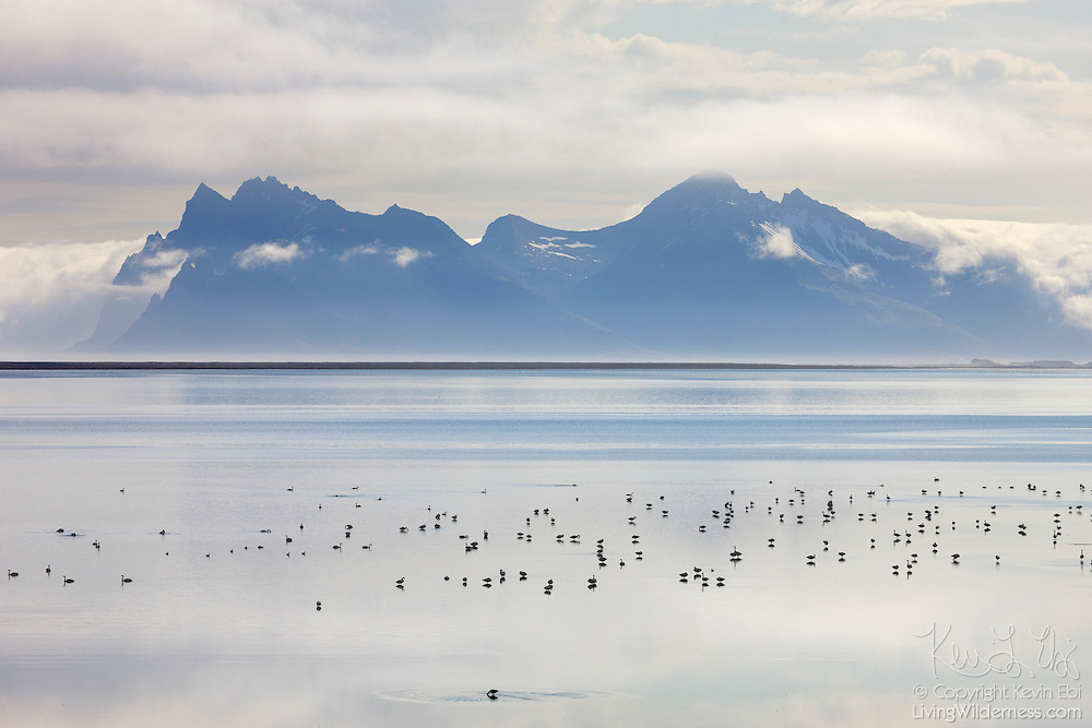 Dozens of whooper swans (Cygnus cygnus) feed in the shallow water of Lónsfjörður, a small fjord off the Atlantic Ocean in eastern Iceland. Several tall mountains are visible in the background. At right is Fjarðarfjall, an 888 meter (2913 foot) peak. The tallest mountain on the left is Vestrahorn with an elevation of about 730 meters (2395 feet). Brunnhorn is the smaller peak in front of Vestrahorn.