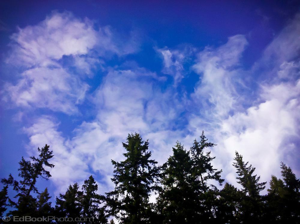 Douglas fir trees (Pseudotsuga menziesii), sky, and clouds