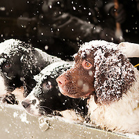 Gun dogs in snow.