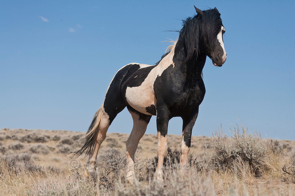 Wild mustang paint band stallion in Wyoming