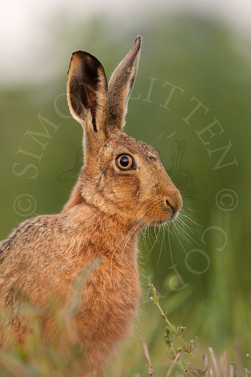 European Hare (Lepus europaeus) adult alert, close up of head, Norfolk, UK.