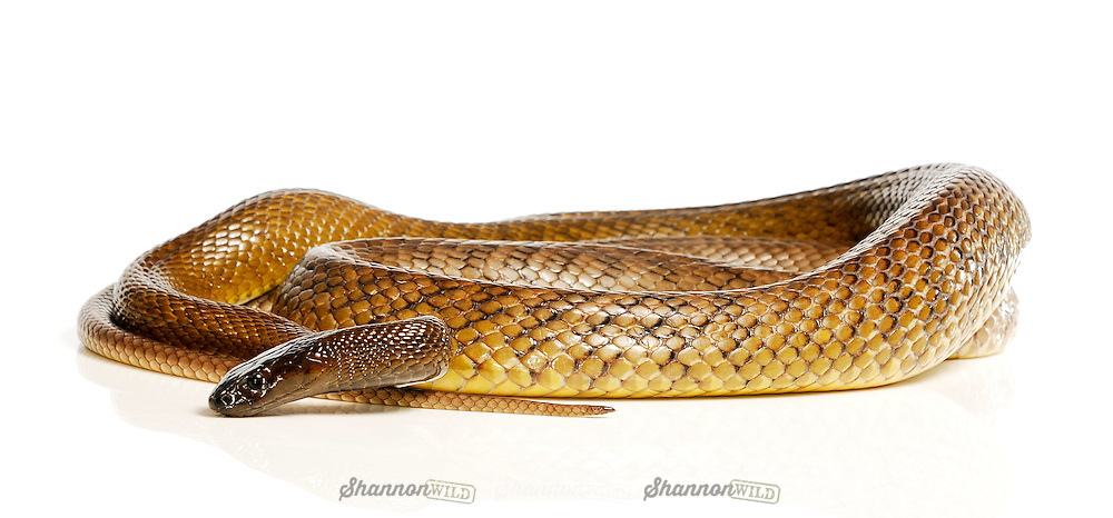 Inland Taipan (Oxyuranus microlepidotus), also known as the Small Scaled Snake or Fierce Snake, is native to Australia and is the most venomous land snake. Female.