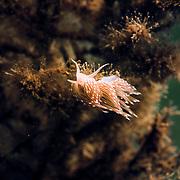 Scottish nudibranch
