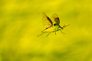 Stinkbug (Banasa calva) flying<br /> United States: Alabama: Tuscaloosa Co.<br /> Tulip Tree Springs off Echola Rd.; Elrod<br /> 4-Oct-2016<br /> J.C. Abbott #2872 &amp; K.K. Abbott