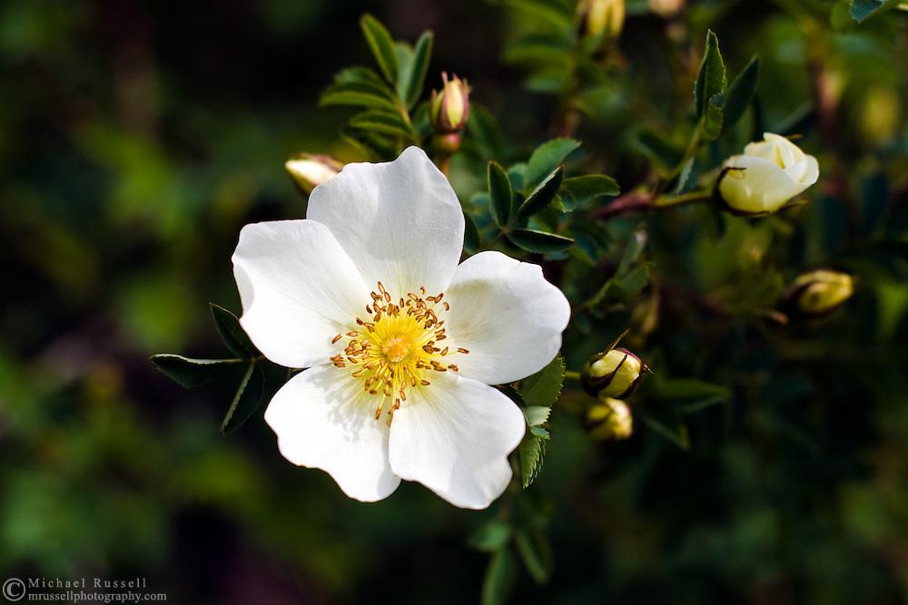 White species rose - Burnet/Scotch Briar Rose (Rosa spinosissima) in garden