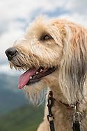Closeup headshot of Australian Shepherd -Wheaton mix breed dog