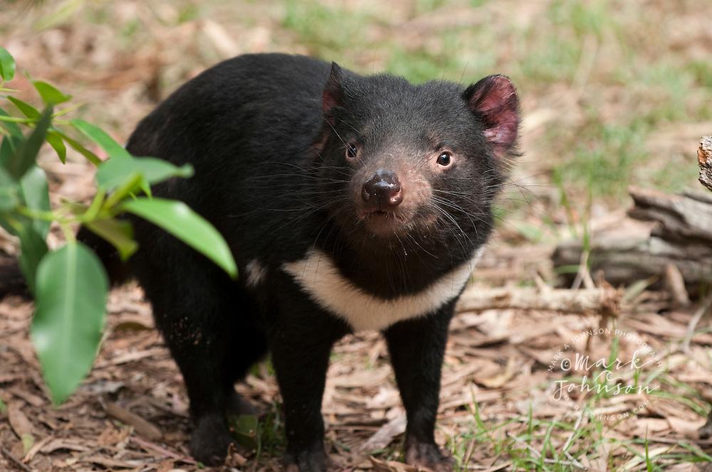 Tasmanian Devil, Currumbin Wildlife Sanctuary, Gold Coast, Queensland, Australia