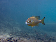 Redbreast Sunfish<br /> <br /> Bryce Gibson/Engbretson Underwater Photography