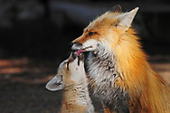 A young red fox kit implores his father to feed him by licking his face. With six hungry mouths to feed this is a full time job for this fox and his mate.