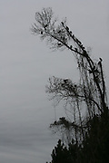 Vultures perched on a dead tree under which lies a dead deer that they've been feeding on.