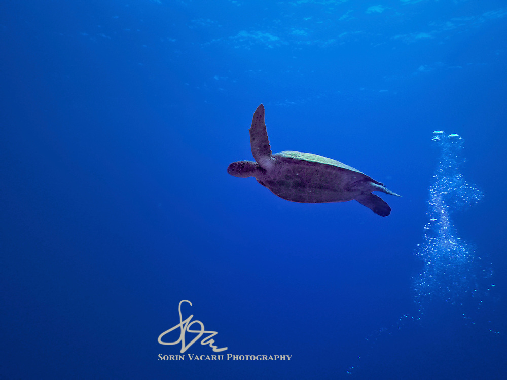 Green Turtle gliding effortless into the endless blue of the Caribbean Sea