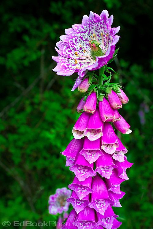 """Foxglove (Digitalis purpurea) anomaly peloric monstrous terminal flower mutation caused by a double recessive gene at a locus called """"centroradialis""""."""