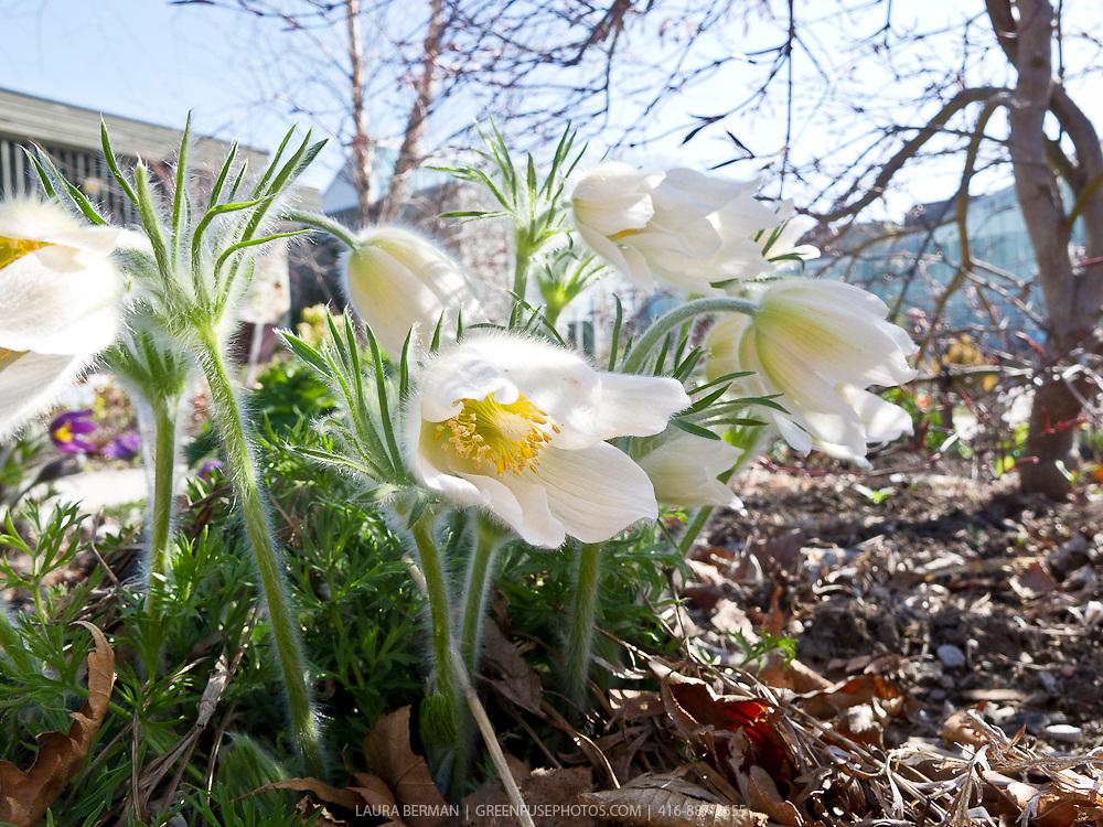 White pasque flower (Anemone pulsatilla vulgaris 'Alba' or Pulsatilla vulgaris 'Alba')