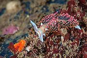 Phidiana hiltoni, Santa Rosa Island, CA