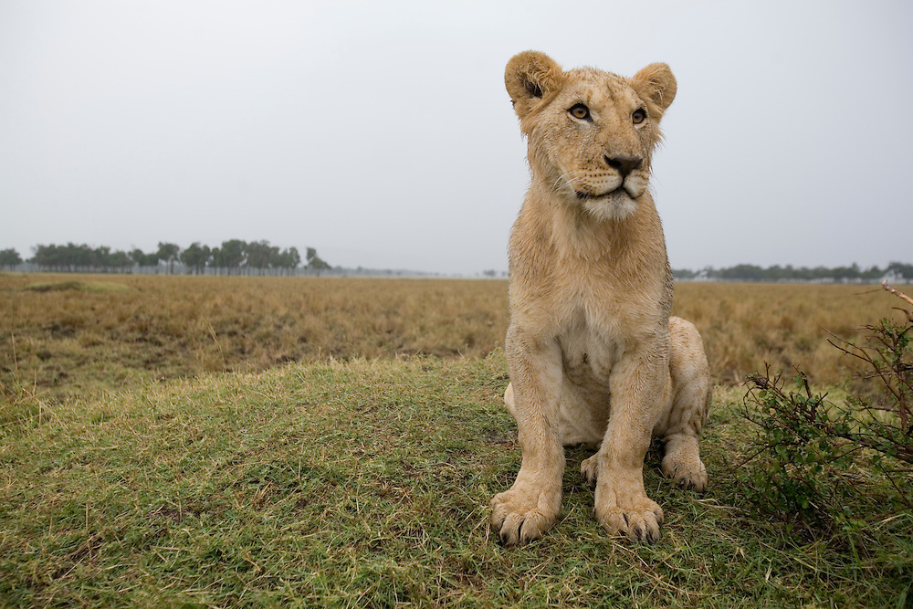 Africa, Kenya, Masai Mara Game Reserve, Young Lion (Panthera leo) on low mound during rain storm on savanna
