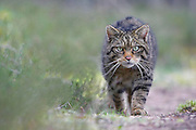 Scottish wildcat (Felis sylvestris) stalking along track in pine forest, Cairngorms National Park, Scotland.