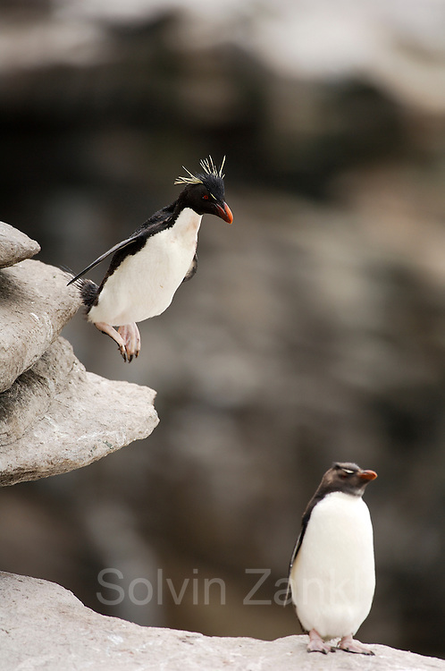Der kleine Traum vom Fliegen: Felsenpinguine (Eudyptes chrysocome) sind mutig und gewandt im felsigen Terrain unterwegs.| A penguin' s flight: unafraid the rockhopper penguins (Eudyptes chrysocome) move  in the rocky terrain, daring even big jumps.