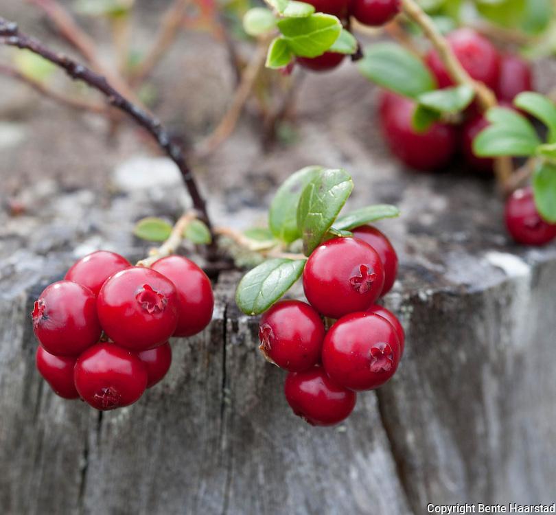 Tyttebær, Vaccinium vitis-idaea, cowberry, lingonberry, lingon.