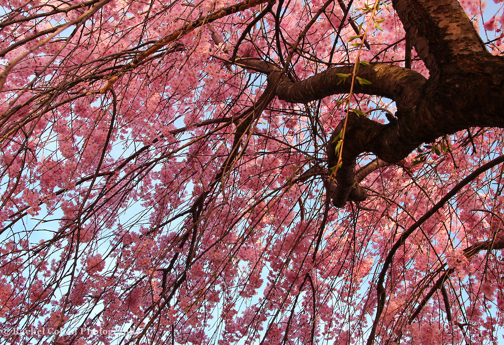 &quot;Within the Cascade&quot;<br /> <br /> Cascading pink blossoms!!<br /> <br /> Flowers by Rachel Cohen