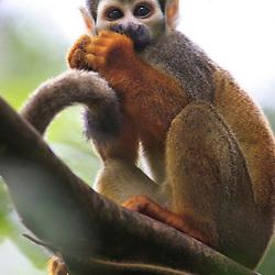 Squirrel monkeys (Saimiri sciureus) in the rainforest at the Yarina Lodge, Napo, Ecuador - Totenkopfaffen im Regenwald an der Yarina Lodge, Ekuador
