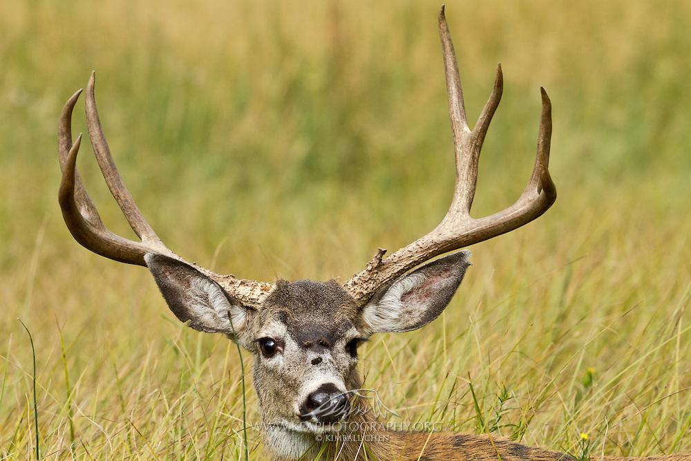 Mule deer get their name from their mule-sized ears.