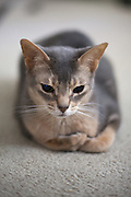 Java Abyssinian Cat