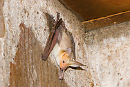 Pallid Bat (Antrozous pallidus)<br /> TEXAS: Presidio Co.<br /> Chinati Mountain SNA<br /> 8-Sept-2005<br /> J.C. Abbott