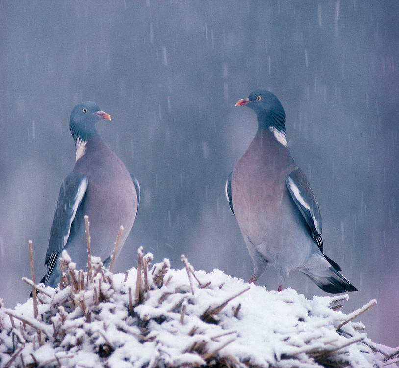 Wood pigeons in snow storm......NIALL BENVIE PORTFOLIO WOOD PIGEONS SNOW STORM PIGEON COLUMBA PALUMBUS EUROPE SCOTLAND ANGUS GAME PASSERINE BIRD PEST HORIZONTAL COLD CONFRONTATION AGGRESSION FIGHT SHOW OFF WHITE BLUE WILD ADULT TWO FEEDING DISPLAYING AGRICULTURAL CROP DAMAGE FARMLAND WOODLAND GARDEN 1991 DECEMBER WINTER.. Add () this image to a lightbox. Close this window... .. ..