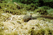 Mudpuppy Salamander<br />