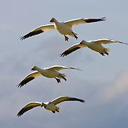 Four snow geese fly in formation over Skagit County, Washington. More than 30,000 snow geese spend part of the winter near Mount Vernon, feasting in farmers' fields.