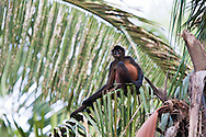 A pregnant Geoffroy's Spider Monkey (Ateles geoffroyi) rests sitting atop a palm tree in Osa Peninsula rainforest of Costa Rica