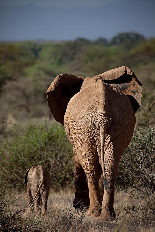 Elephants in Samburu, Kenya