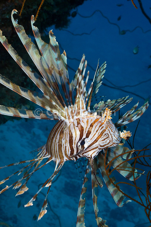 Volitans or Black lionfish (Pterois Volitans) or Red Firefish - Agincourt reef, Great Barrier Reef