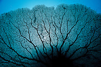 The veiny silhouette of an enormous Gorgonian sp. sea fan. Eastern Fields Atoll, Papua New Guinea. Canon 5D Mark II, Canon 16-35mm f2.8L USM lens @ 16mm, Seacam underwater housing, 2 x Ikelite DS-125 strobes. 1/100s @ f/8, ISO 250. echeng091202_0243694